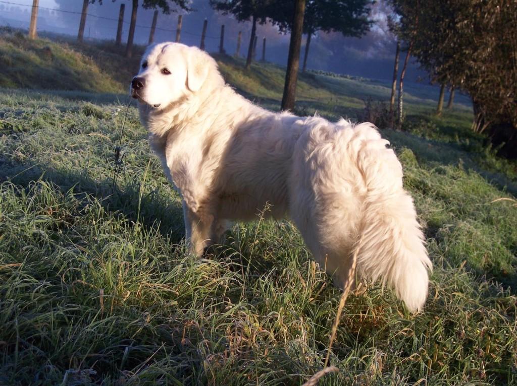 Herdenschutzhund Slovensky Cuvac