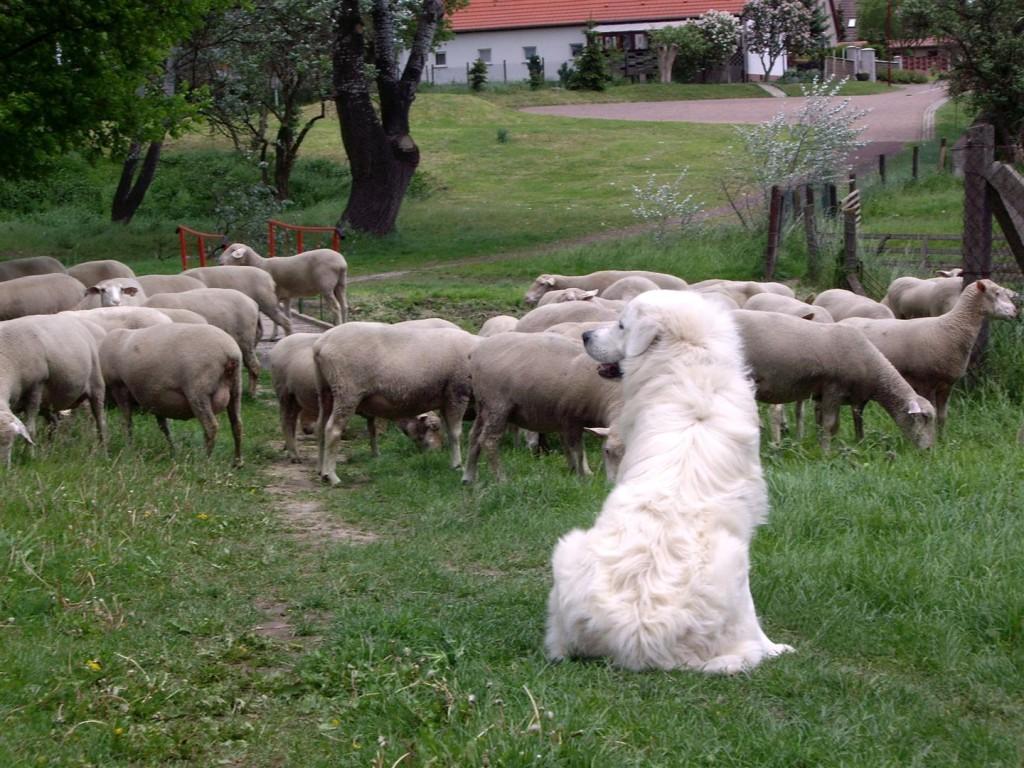 Herdenschutz Hund Slovensky Cuvac bewacht seine  Schaf Herde