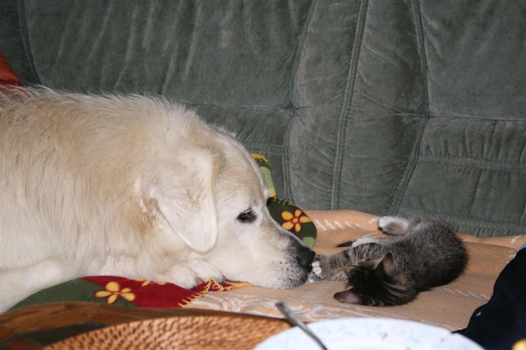 Herdenschutzhund mit Katzenbaby